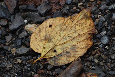 ケンポナシの落ち葉が