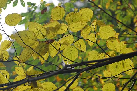 ケンポナシの葉を見上げた