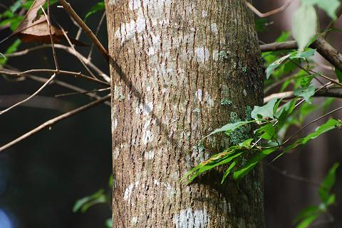 ケンポナシの木肌が