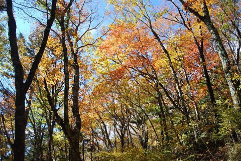 雑木林の黄葉が