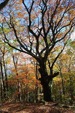 ブナの巨木と紅葉