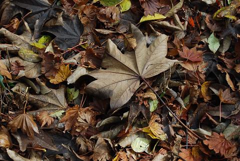 ハウチワカエデの大きな落ち葉