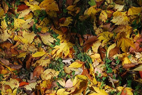 シロモジの黄葉した落ち葉