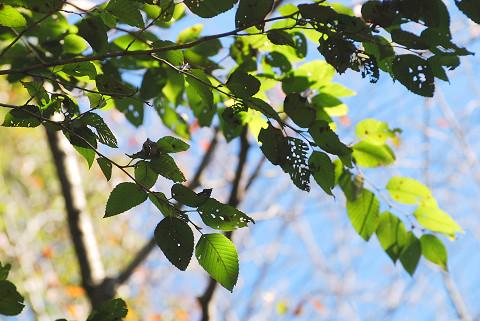 左の木肌の木の葉
