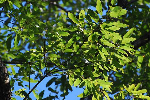 左の木の葉が