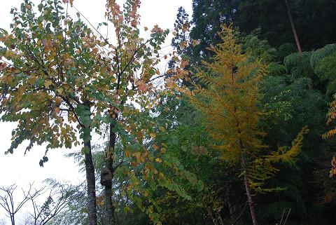 庭のカツラとカラマツの黄葉