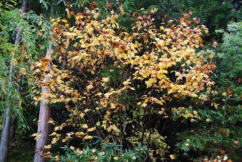 裏山のシロモジの黄葉