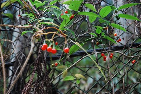 マルバノホロシの赤い実が