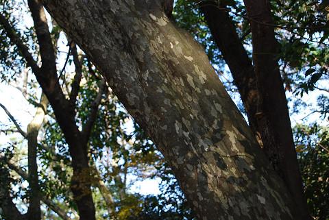 カゴノキの木肌は