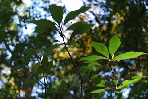 カゴノキの葉は