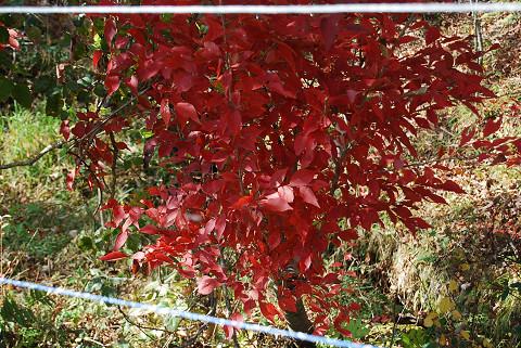 カマツカの紅葉が
