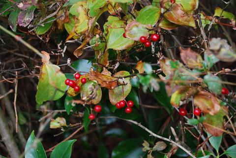 サルトリイバラの赤い実は