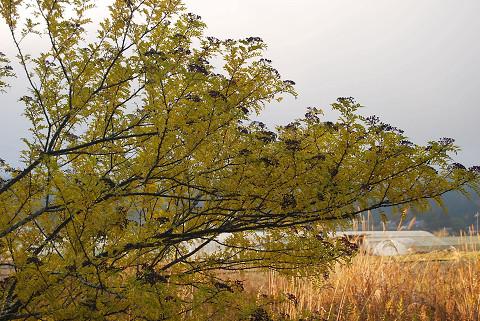 イヌザンショウの黄葉と実