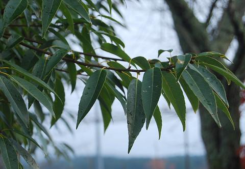 シラカシの葉が