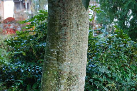 シラカシの木肌