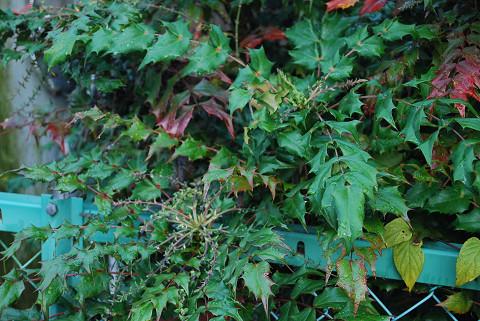ヒイラギナンテンの葉が