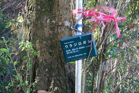 ウラジロガシの木肌と葉