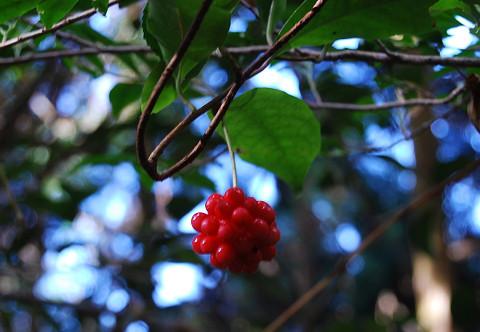 サネカズラの赤い実