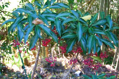 マンリョウが赤い実をいっぱい