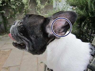 耳血腫 (4)