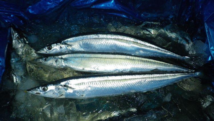 2013秋刀魚03