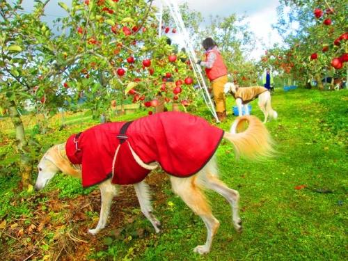 りんごと白馬11