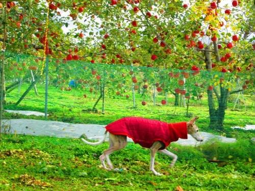 りんごと白馬12