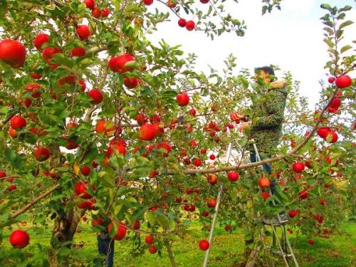 りんごと白馬14