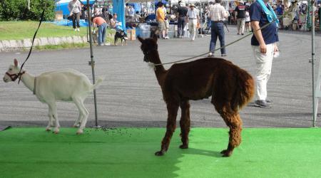 20130824-alpaca.jpg