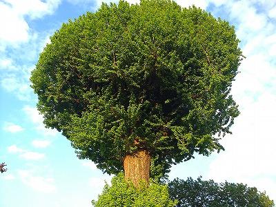 イチョウの木1
