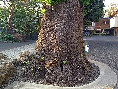 イチョウの木3