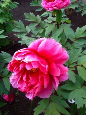 ボタンの花10