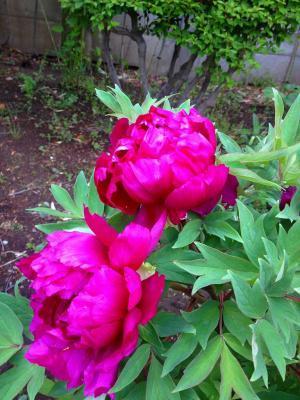 ボタンの花6