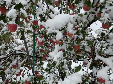 雪降りリンゴ