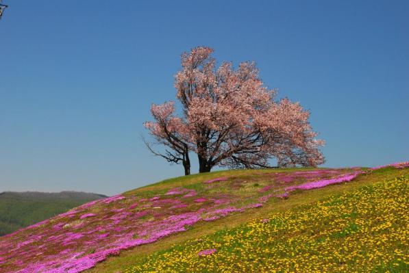 「双子の桜」