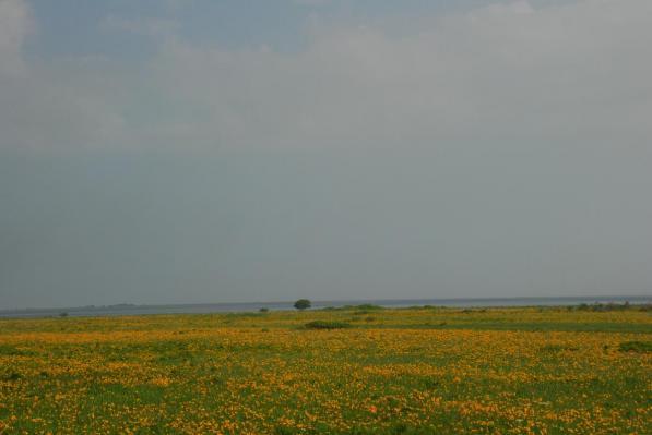 野付半島   ナラワラとエゾカンゾウ
