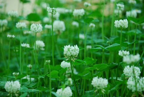 クローバーの花7