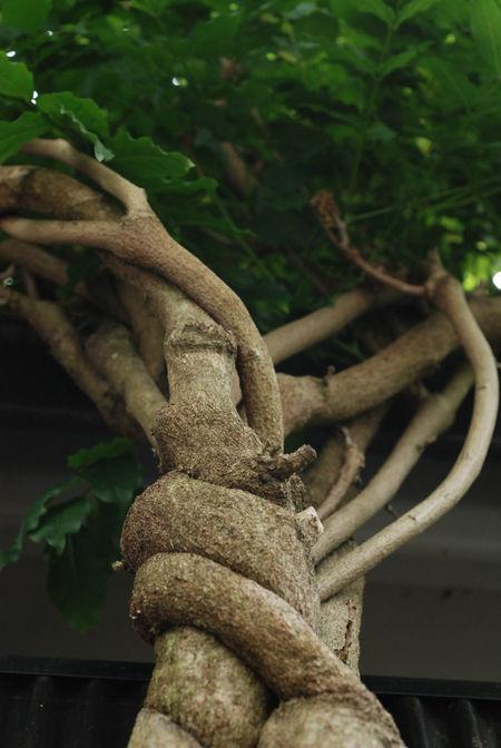 山藤の木9