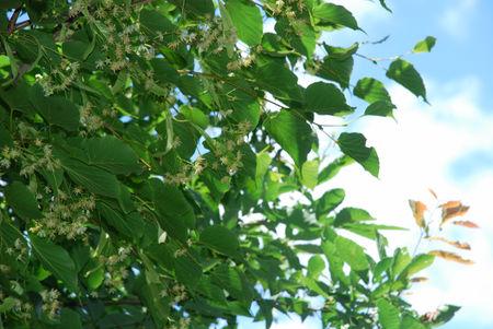 菩提樹の花11