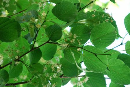 菩提樹の花12