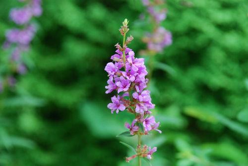 ミソハギの花7