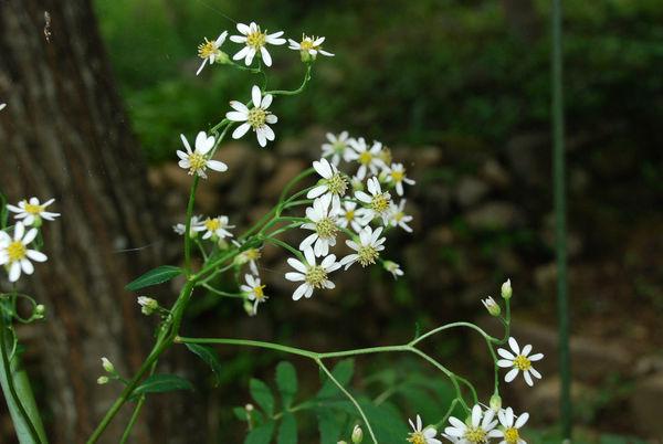 ヨメナに似た花6