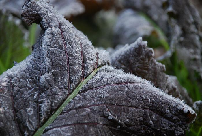 レッドマスタードの初霜2