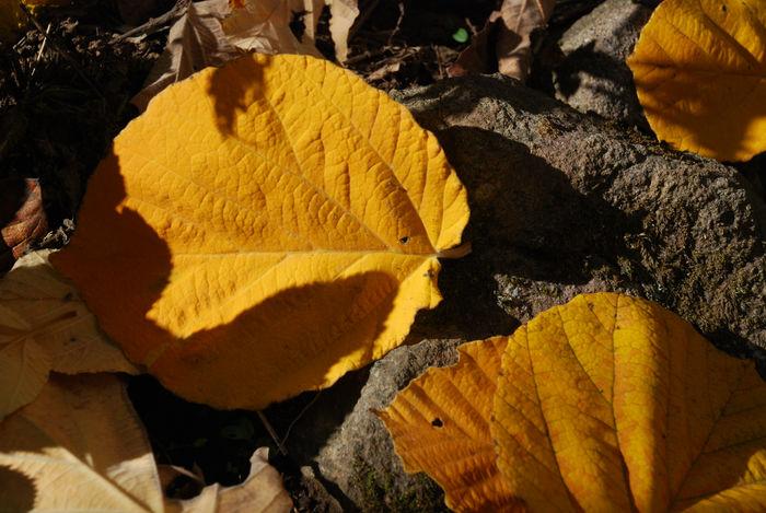 シナマンサクの落ち葉15