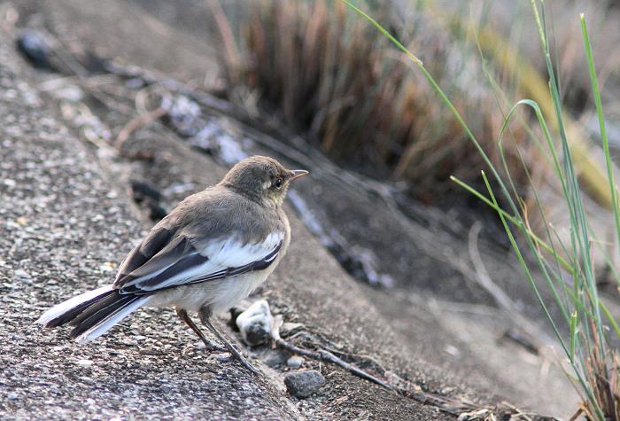 2013-7-19ハクセキレイ幼鳥resize5102