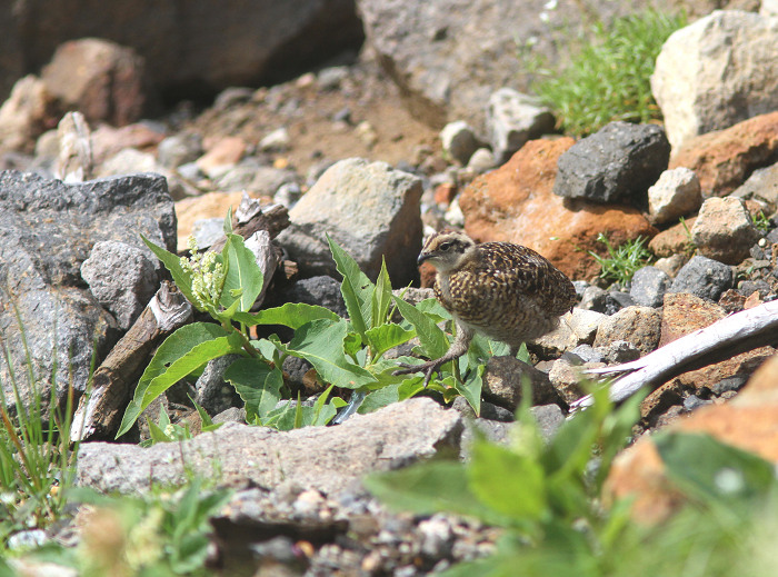 2013-7-26ライチョウの幼鳥resize5192