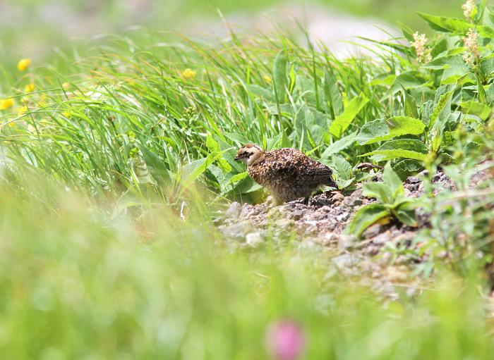 2013-7-26ライチョウの幼鳥resize5194