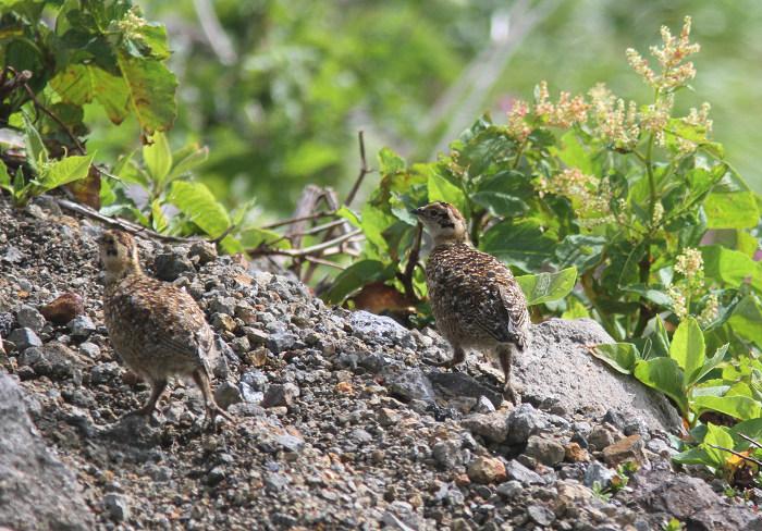2013-7-26ライチョウの幼鳥resize5197