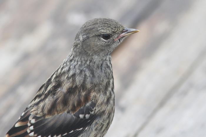 2013-7-26イワヒバリ幼鳥resize5245
