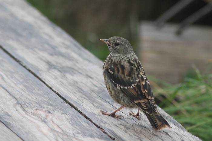 2013-7-26イワヒバリ幼鳥resize5246
